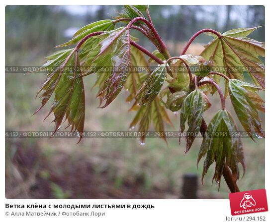 Ветка клёна с молодыми листьями в дождь, фото № 294152, снято 18 мая 2008 г. (c) Алла Матвейчик / Фотобанк Лори