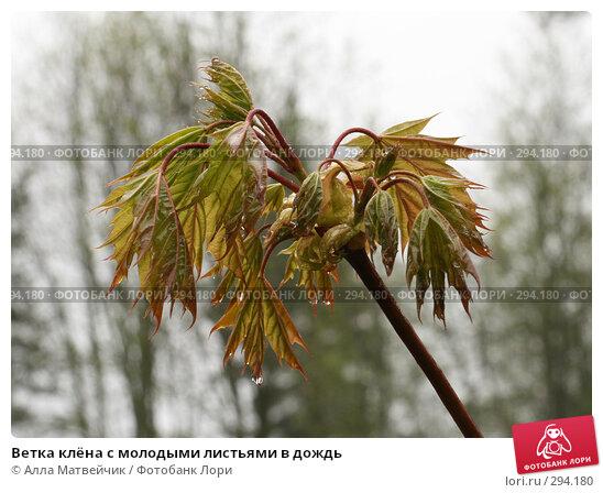 Ветка клёна с молодыми листьями в дождь, фото № 294180, снято 18 мая 2008 г. (c) Алла Матвейчик / Фотобанк Лори