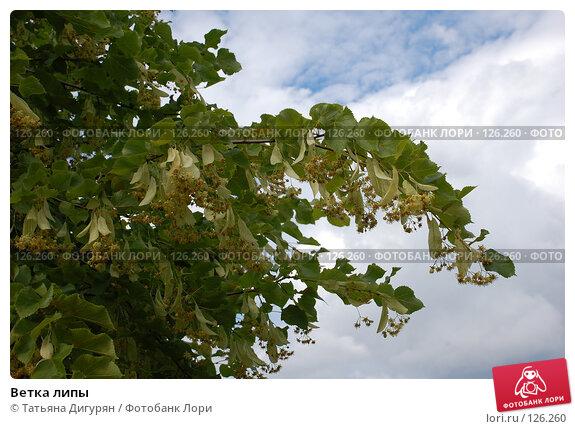 Ветка липы, фото № 126260, снято 29 июля 2007 г. (c) Татьяна Дигурян / Фотобанк Лори