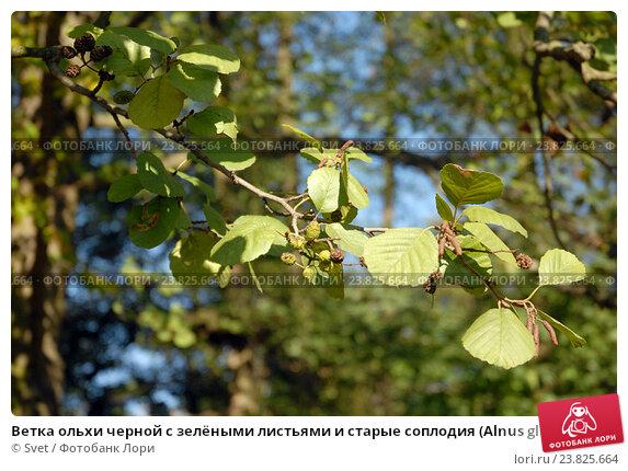Купить «Ветка ольхи черной с зелёными листьями и старые соплодия (Alnus glutinosa)», эксклюзивное фото № 23825664, снято 16 октября 2016 г. (c) Svet / Фотобанк Лори