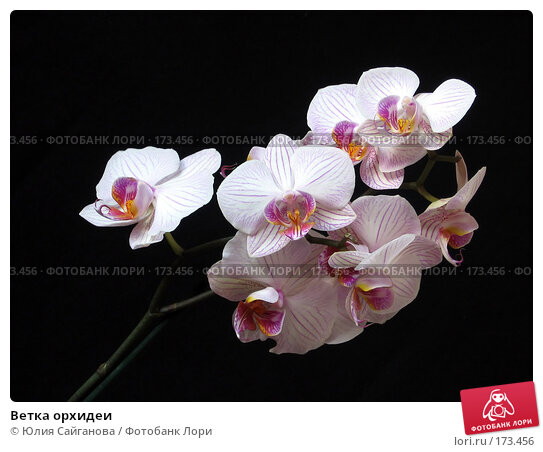 Купить «Ветка орхидеи», фото № 173456, снято 8 января 2008 г. (c) Юлия Сайганова / Фотобанк Лори