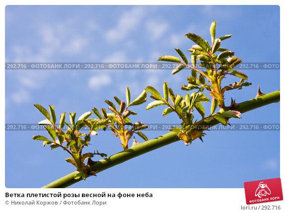 Ветка плетистой розы весной на фоне неба, фото № 292716, снято 18 мая 2008 г. (c) Николай Коржов / Фотобанк Лори