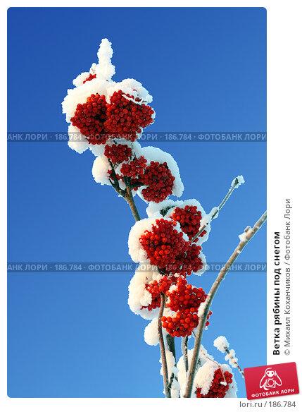 Купить «Ветка рябины под снегом», фото № 186784, снято 15 декабря 2007 г. (c) Михаил Коханчиков / Фотобанк Лори