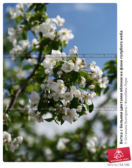 Ветка с белыми цветами яблони на фоне голубого неба, фото № 54140, снято 26 мая 2007 г. (c) Останина Екатерина / Фотобанк Лори