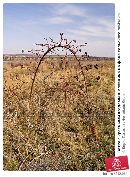 Ветка с красными ягодами шиповника на фоне сельского пейзажа, фото № 242064, снято 29 марта 2008 г. (c) Борис Панасюк / Фотобанк Лори