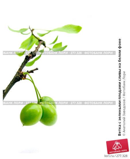 Ветка с зелеными плодами сливы на белом фоне, фото № 277328, снято 29 мая 2006 г. (c) Анатолий Заводсков / Фотобанк Лори
