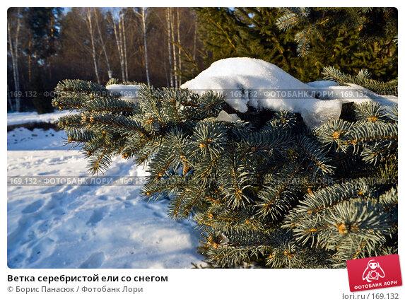 Ветка серебристой ели со снегом, фото № 169132, снято 31 декабря 2007 г. (c) Борис Панасюк / Фотобанк Лори