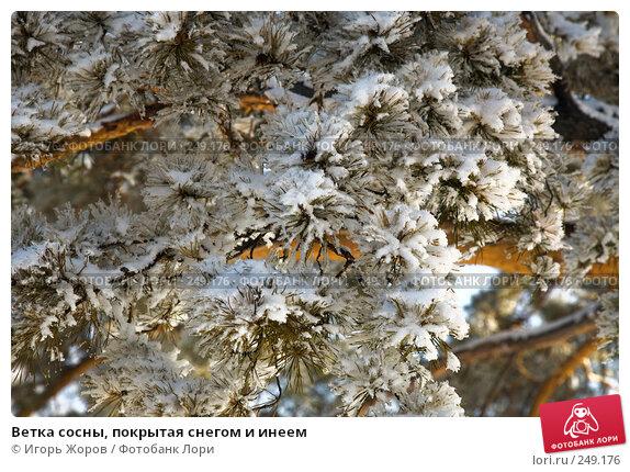 Ветка сосны, покрытая снегом и инеем, фото № 249176, снято 10 февраля 2008 г. (c) Игорь Жоров / Фотобанк Лори