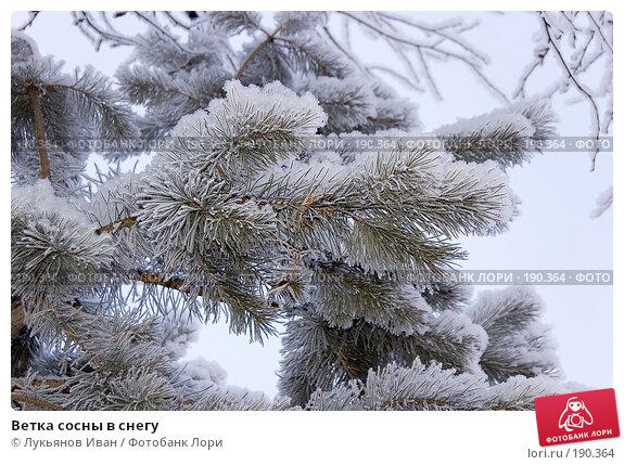 Ветка сосны в снегу, фото № 190364, снято 8 декабря 2007 г. (c) Лукьянов Иван / Фотобанк Лори