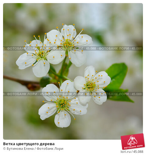 Купить «Ветка цветущего дерева», фото № 45088, снято 20 мая 2007 г. (c) Бутинова Елена / Фотобанк Лори