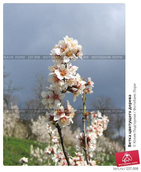Ветка цветущего дерева, фото № 237008, снято 20 марта 2008 г. (c) Юлия Селезнева / Фотобанк Лори
