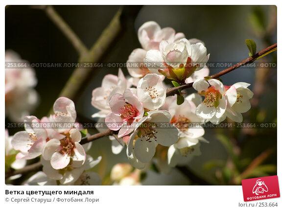 Ветка цветущего миндаля, фото № 253664, снято 13 апреля 2008 г. (c) Сергей Старуш / Фотобанк Лори