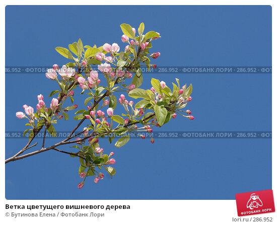 Купить «Ветка цветущего вишневого дерева», фото № 286952, снято 16 мая 2008 г. (c) Бутинова Елена / Фотобанк Лори