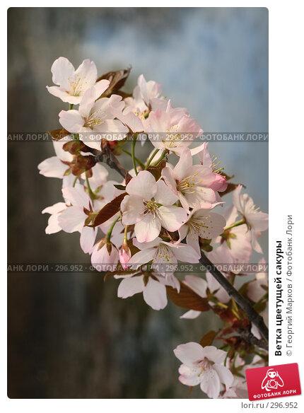 Ветка цветущей сакуры, фото № 296952, снято 1 мая 2008 г. (c) Георгий Марков / Фотобанк Лори