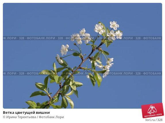Ветка цветущей вишни, эксклюзивное фото № 328, снято 16 мая 2005 г. (c) Ирина Терентьева / Фотобанк Лори