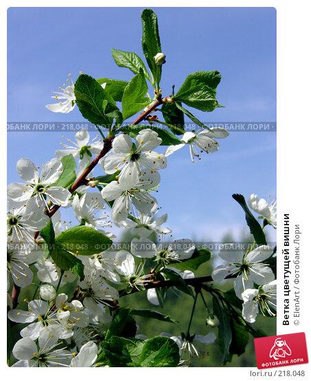 Ветка цветущей вишни, фото № 218048, снято 22 октября 2016 г. (c) ElenArt / Фотобанк Лори