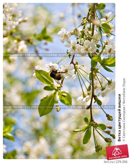 Ветка цветущей вишни, фото № 279356, снято 10 мая 2008 г. (c) Светлана Силецкая / Фотобанк Лори