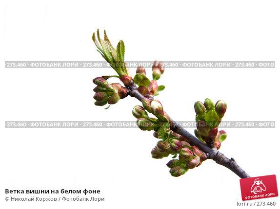 Ветка вишни на белом фоне, фото № 273460, снято 2 апреля 2008 г. (c) Николай Коржов / Фотобанк Лори