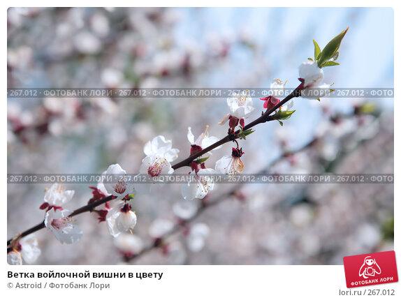 Ветка войлочной вишни в цвету, фото № 267012, снято 29 апреля 2008 г. (c) Astroid / Фотобанк Лори