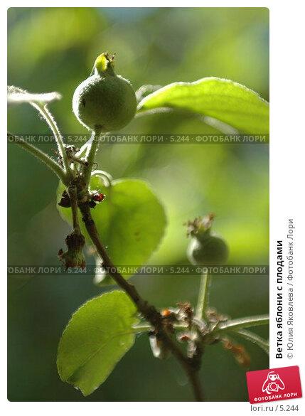Ветка яблони с плодами, фото № 5244, снято 5 июля 2006 г. (c) Юлия Яковлева / Фотобанк Лори