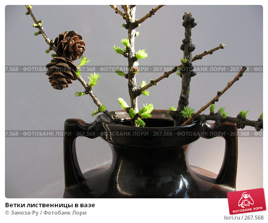 Ветки лиственницы в вазе, фото № 267568, снято 26 апреля 2008 г. (c) Заноза-Ру / Фотобанк Лори