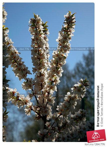 Купить «Ветки цветущей вишни», фото № 264776, снято 27 апреля 2008 г. (c) Олег Титов / Фотобанк Лори