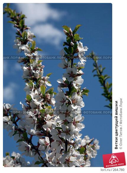 Ветки цветущей вишни, фото № 264780, снято 27 апреля 2008 г. (c) Олег Титов / Фотобанк Лори