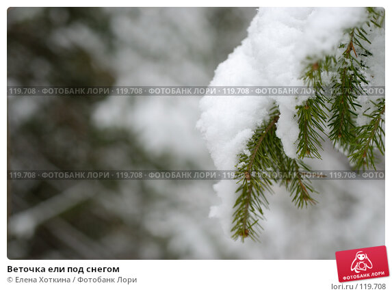 Веточка ели под снегом, фото № 119708, снято 26 марта 2017 г. (c) Елена Хоткина / Фотобанк Лори