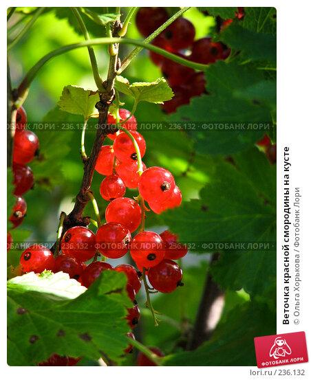 Веточка красной смородины на кусте, фото № 236132, снято 29 июля 2007 г. (c) Ольга Хорькова / Фотобанк Лори
