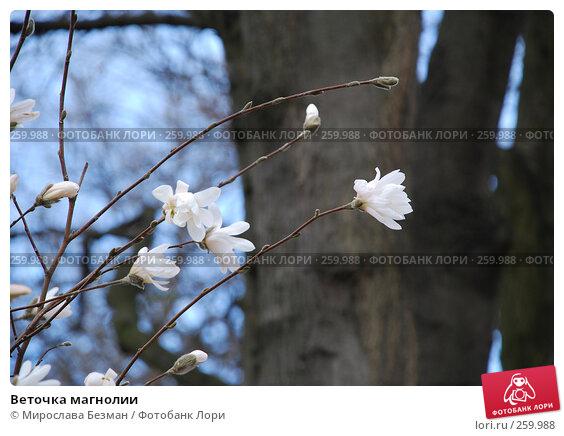 Веточка магнолии, фото № 259988, снято 12 апреля 2007 г. (c) Мирослава Безман / Фотобанк Лори
