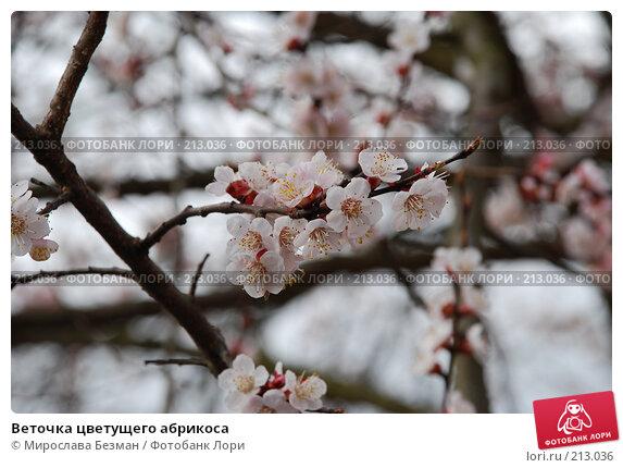 Веточка цветущего абрикоса, фото № 213036, снято 11 апреля 2007 г. (c) Мирослава Безман / Фотобанк Лори