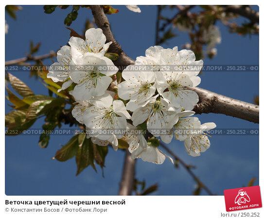 Веточка цветущей черешни весной, фото № 250252, снято 18 января 2017 г. (c) Константин Босов / Фотобанк Лори