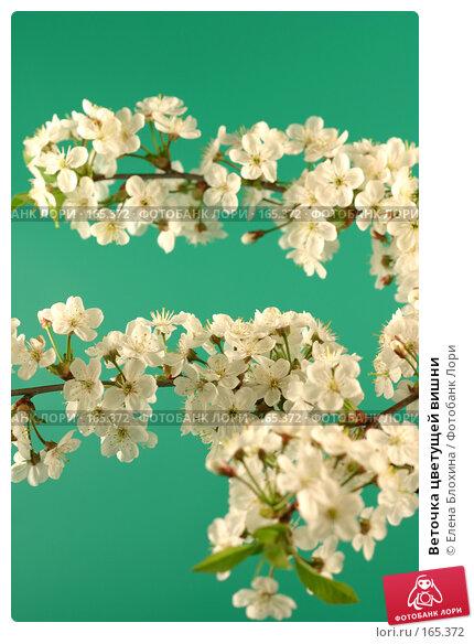 Купить «Веточка цветущей вишни», фото № 165372, снято 13 мая 2007 г. (c) Елена Блохина / Фотобанк Лори