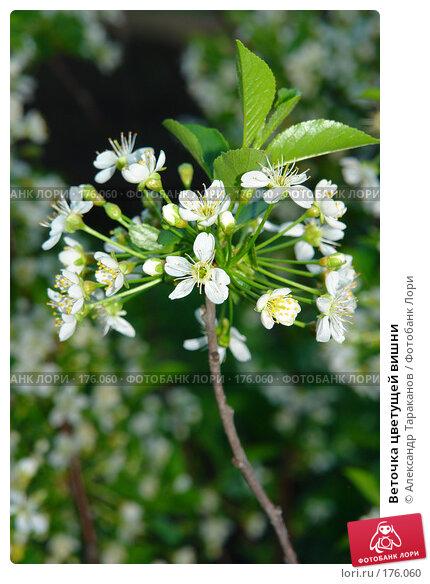 Купить «Веточка цветущей вишни», эксклюзивное фото № 176060, снято 24 апреля 2018 г. (c) Александр Тараканов / Фотобанк Лори