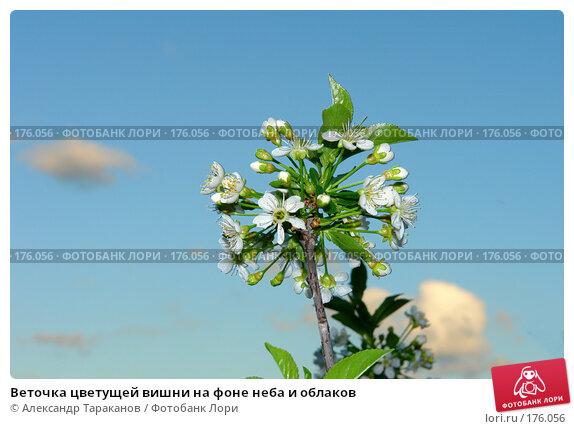 Купить «Веточка цветущей вишни на фоне неба и облаков», эксклюзивное фото № 176056, снято 20 апреля 2018 г. (c) Александр Тараканов / Фотобанк Лори
