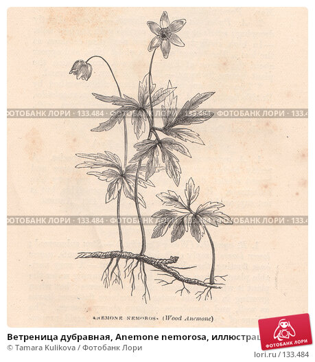 """Ветреница дубравная, Anemone nemorosa, иллюстрация из книги """"Flowers of the field"""", издано в Лондоне в 1888, иллюстрация № 133484 (c) Tamara Kulikova / Фотобанк Лори"""