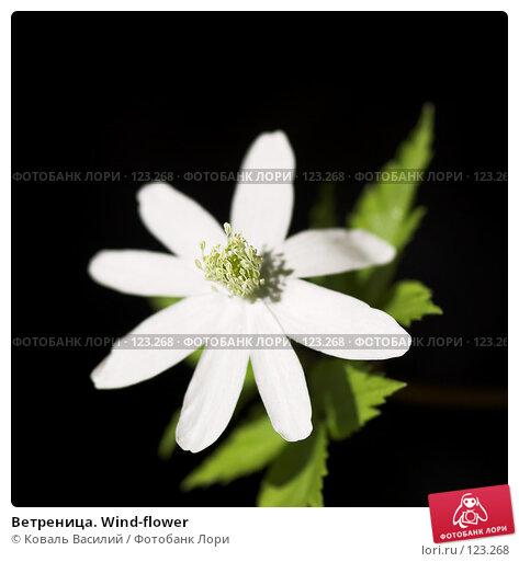 Ветреница. Wind-flower, фото № 123268, снято 21 октября 2016 г. (c) Коваль Василий / Фотобанк Лори