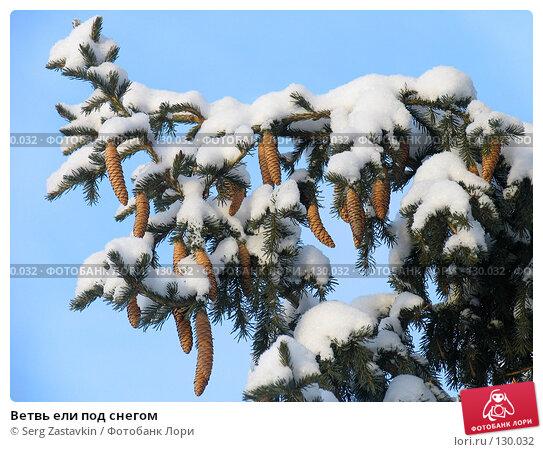 Ветвь ели под снегом, фото № 130032, снято 17 декабря 2004 г. (c) Serg Zastavkin / Фотобанк Лори