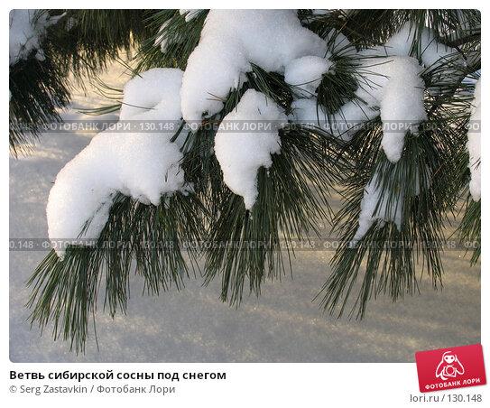 Ветвь сибирской сосны под снегом, фото № 130148, снято 17 декабря 2004 г. (c) Serg Zastavkin / Фотобанк Лори