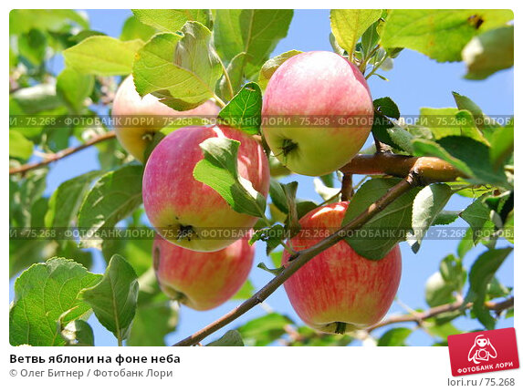 Ветвь яблони на фоне неба, фото № 75268, снято 2 августа 2007 г. (c) Олег Битнер / Фотобанк Лори