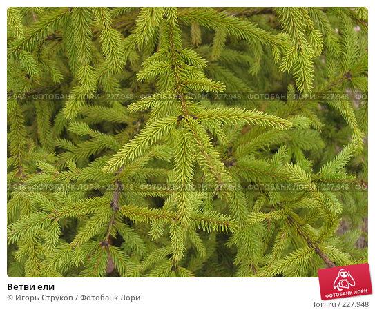 Ветви ели, фото № 227948, снято 19 марта 2008 г. (c) Игорь Струков / Фотобанк Лори