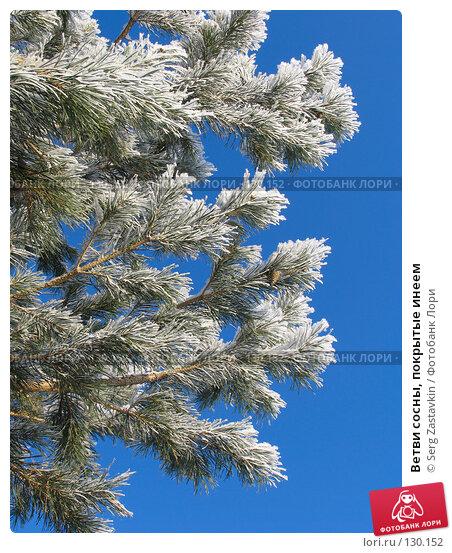 Ветви сосны, покрытые инеем, фото № 130152, снято 18 декабря 2005 г. (c) Serg Zastavkin / Фотобанк Лори
