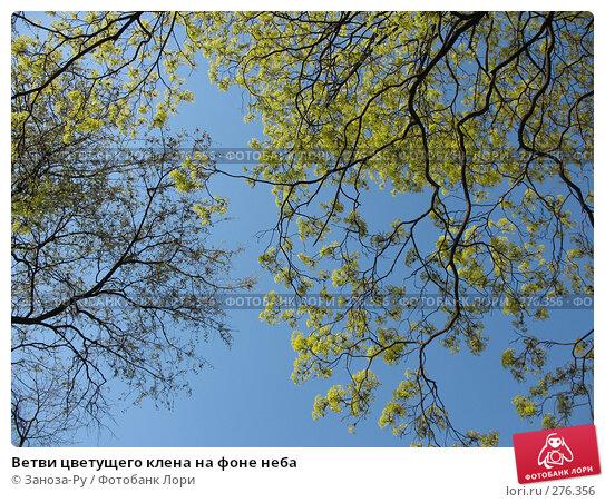 Ветви цветущего клена на фоне неба, фото № 276356, снято 2 мая 2008 г. (c) Заноза-Ру / Фотобанк Лори