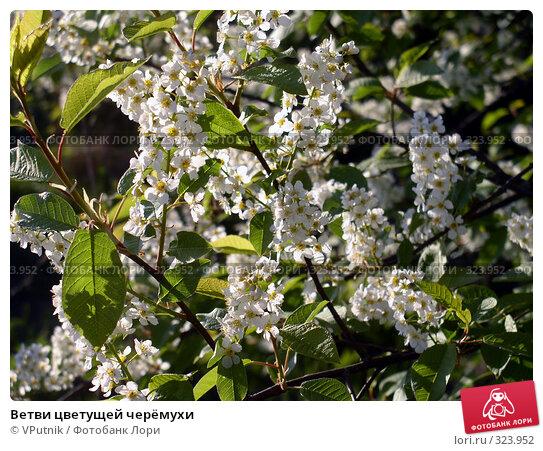 Ветви цветущей черёмухи, фото № 323952, снято 24 марта 2017 г. (c) VPutnik / Фотобанк Лори