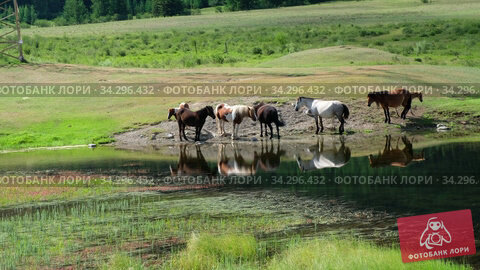 Video of herd of horses near the water of small Altai lake. Russia. Стоковое видео, видеограф Serg Zastavkin / Фотобанк Лори