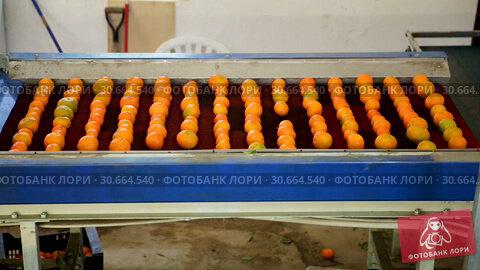 Купить «View of ripe mandarin oranges on conveyor belt of sorting production line», видеоролик № 30664540, снято 29 января 2019 г. (c) Яков Филимонов / Фотобанк Лори