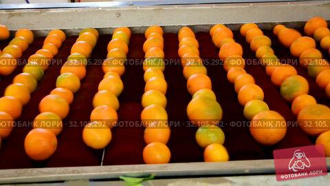 Купить «View of ripe mandarin oranges on conveyor belt of sorting production line», видеоролик № 32105292, снято 29 января 2019 г. (c) Яков Филимонов / Фотобанк Лори
