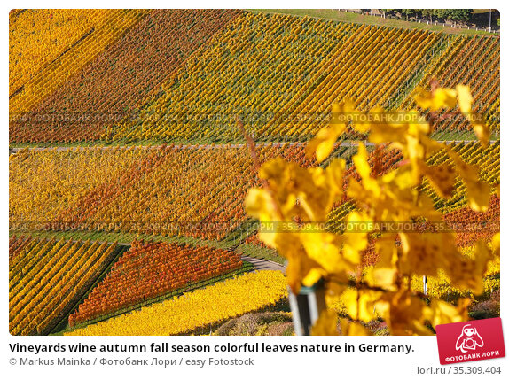 Vineyards wine autumn fall season colorful leaves nature in Germany. Стоковое фото, фотограф Markus Mainka / easy Fotostock / Фотобанк Лори
