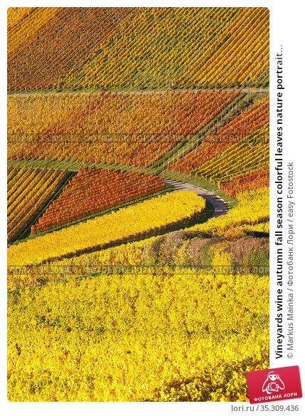 Vineyards wine autumn fall season colorful leaves nature portrait... Стоковое фото, фотограф Markus Mainka / easy Fotostock / Фотобанк Лори