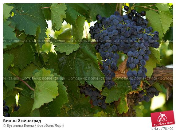 Винный виноград, фото № 78400, снято 24 августа 2007 г. (c) Бутинова Елена / Фотобанк Лори